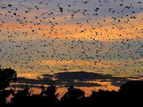 Kasanka National Park bat migration