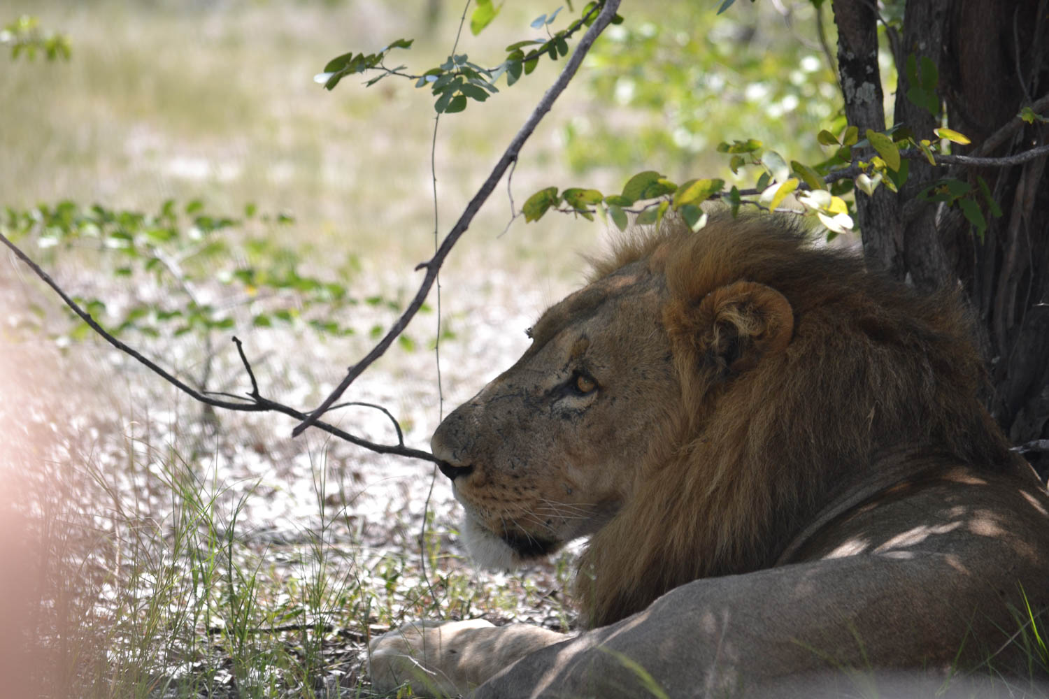 See the lion, King of Africa with South Africa Overland 4x4 Tours