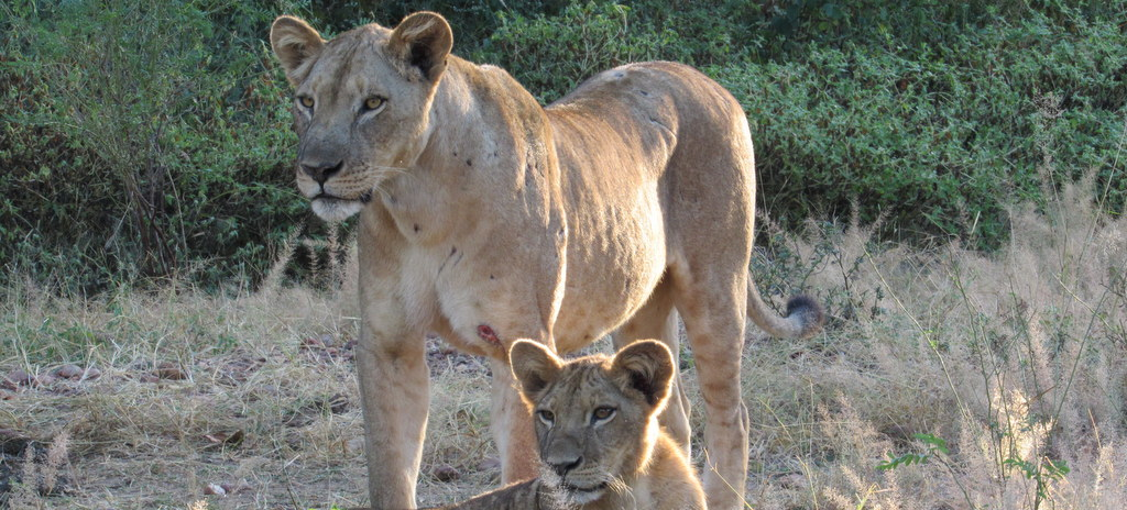 Lions in Zimbabwe with South Africa Overland
