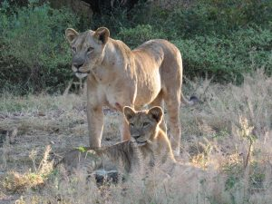 Lions at Mana Pools, Zimbabwe with South Africa Overland 4x4 Adventure Tours