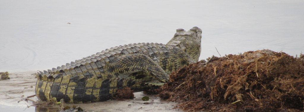 Nile Crocodile with South Africa Overland Adventures
