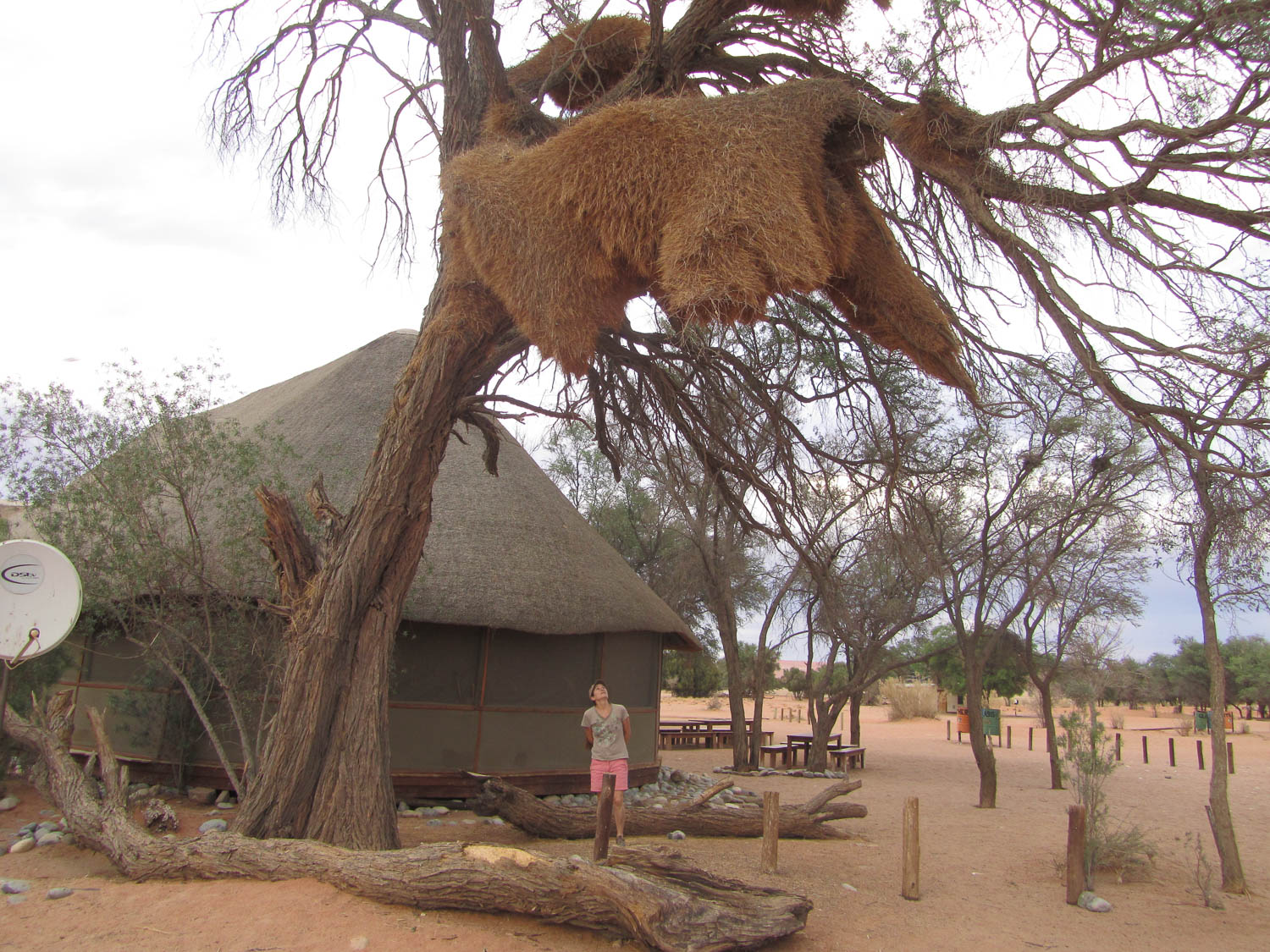 Huge Social Weavers Nest in Namibia with South Africa Overland 4x4 Tours