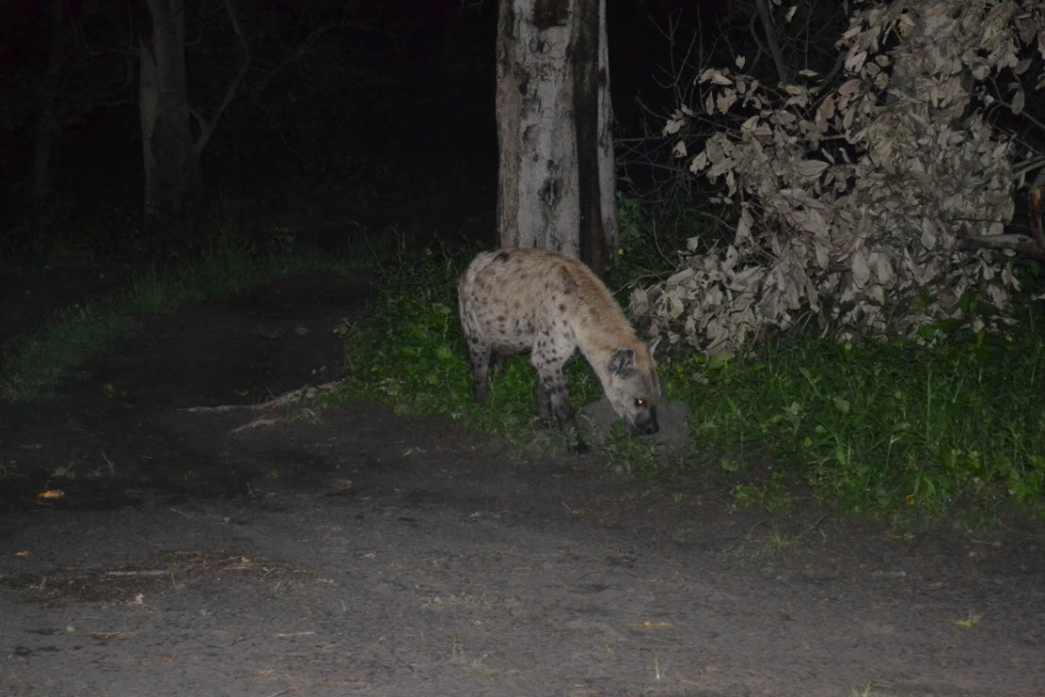 Night game spotting, hyena, with South Africa Overland 4x4 Tours