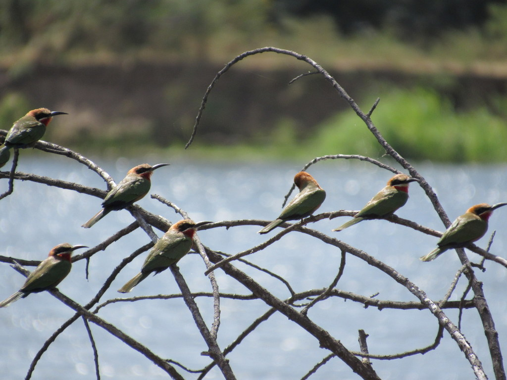 White Fronted Bee Eaters on the Zambezi River with South Africa Overland