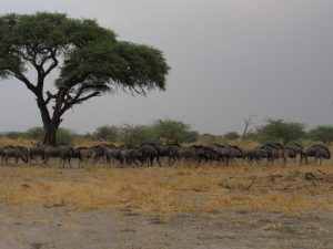 Wildebeest Migration on the Liuwa Plains with South Africa Overland