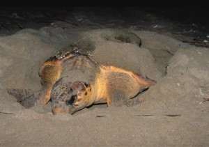 Kosi Bay Turtles laying eggs with South Africa Overland
