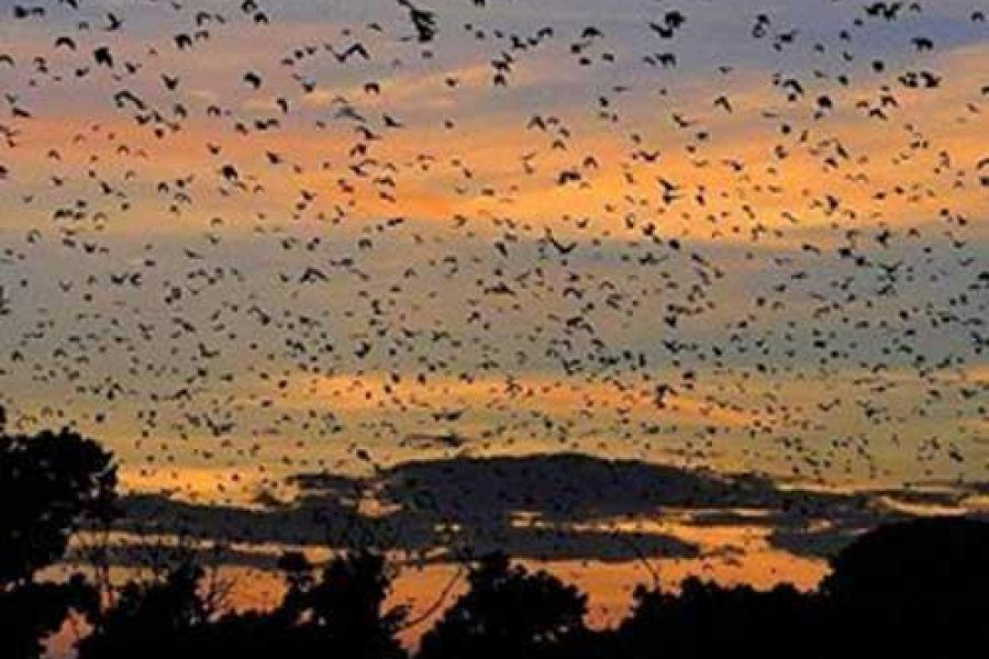 Kasanka National Park Bat migration Zambia
