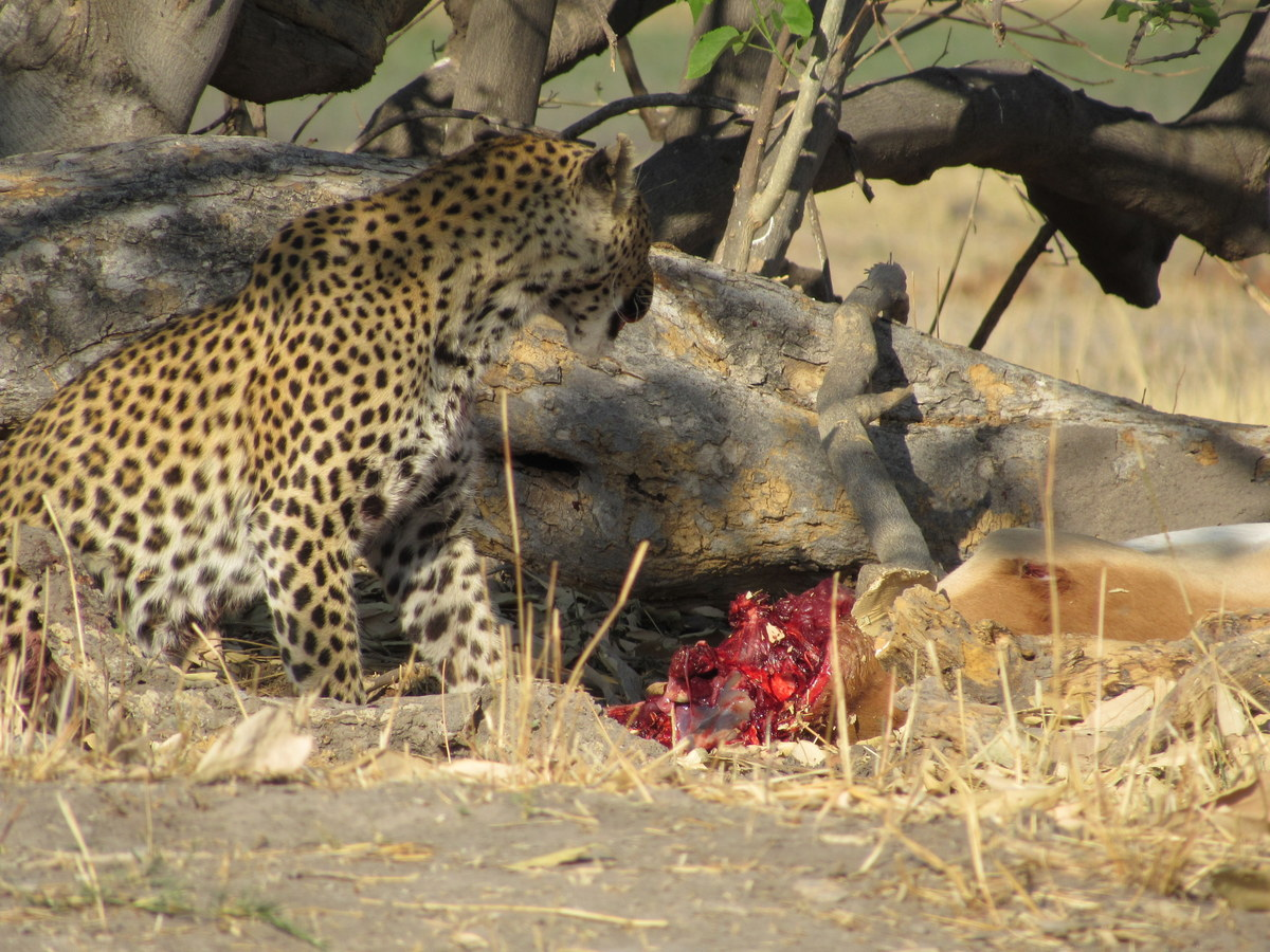 Beautiful Leopard, Eco Tourism with South Africa Overland 4x4 Adventure Tours