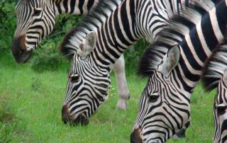 Zebra in Botswana, with African Overland 4x4 Tours