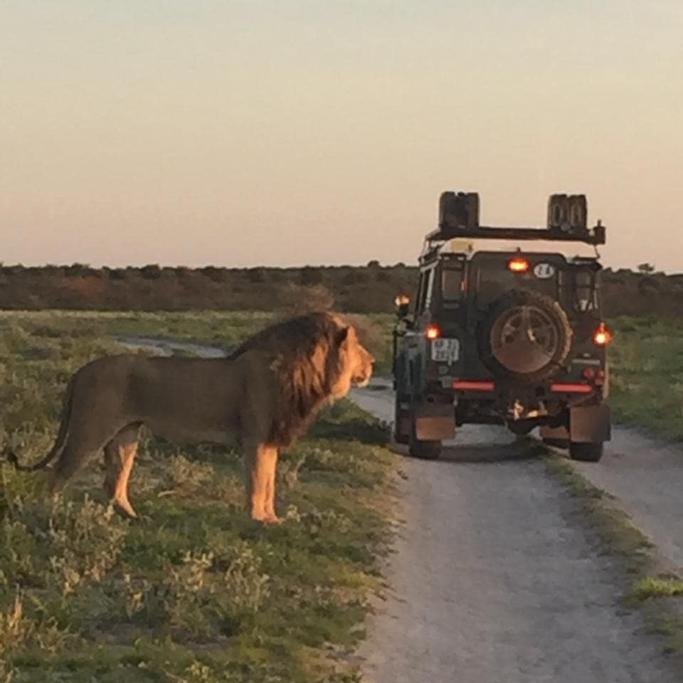 Central Kalahari Park Lion sighting with African Overland 4x4 Tours