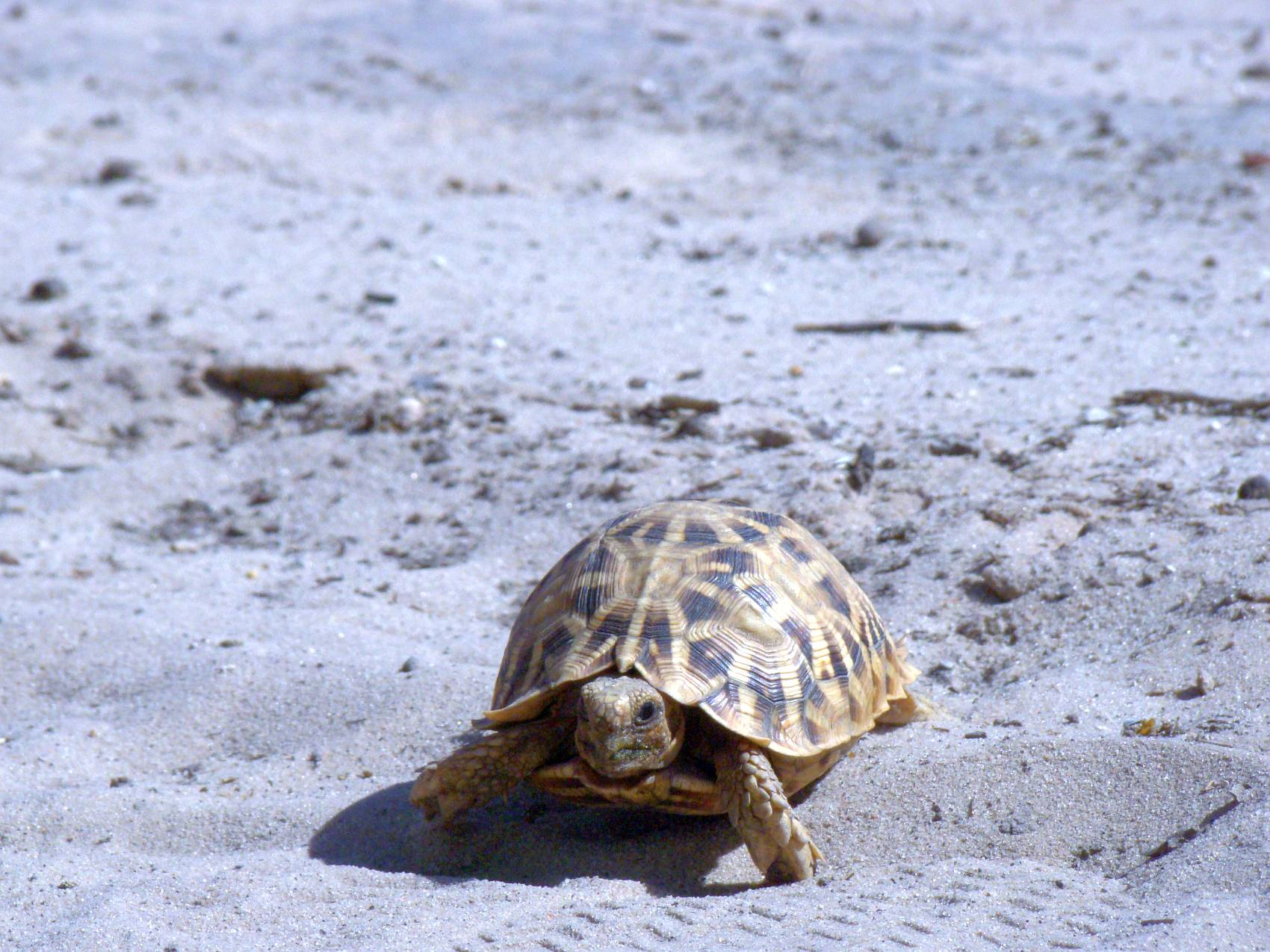 We also see the small ones ... Leopard Tortoise, Botswana; African Overland 4x4 Tours